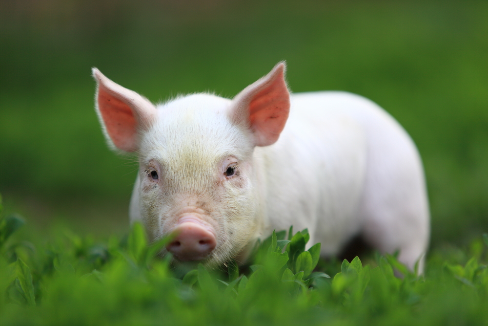 Young pigling on green grass