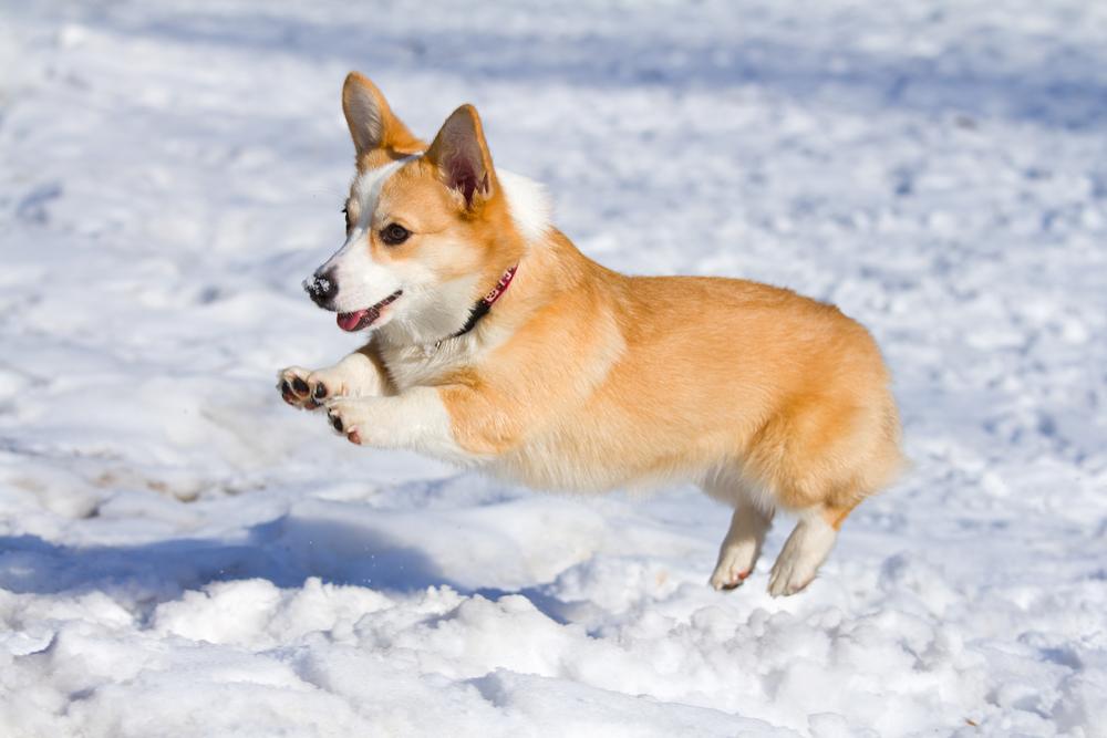 Dog breed Welsh Corgi Pembroke runs through snow